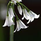Angled Onion Weed by Joy Watson