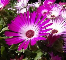Pink And White Gazania Flowers by taiche