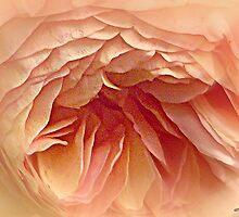 Vintage Rose by naturelover