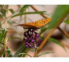 Fluttering Fritillary Photographic Print