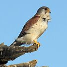 MALE Australian Kestrel by Kym Bradley