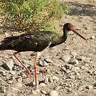 And It's Called A Black Stork! by Robert Abraham