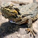 Bearded Dragon by Peter Gray