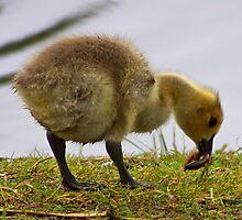 gosling 1 worm 0 by dedmanshootn