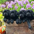 A box of 4 Labrador puppies! by DennisThornton