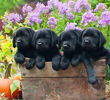 A box of 4 Labrador puppies! by DennisThornton