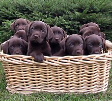 Designer Labrador Puppies! New in 2013 by DennisThornton