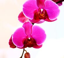 Orchids by Jordan Moffat