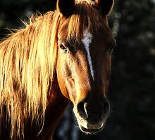 Golden Horse Portrait Photo by NaturePrints