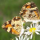 Butterflies Mating by Patricia Mills