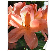 Peach azalea Poster