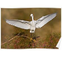 Snowy Egret spreading its wings Poster