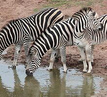 Zebras at Waterhole by Audrey Bendus
