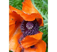 big poppies Photographic Print