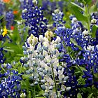albino bluebonnet by Cara Johnson