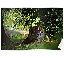 Tiger in shade Poster