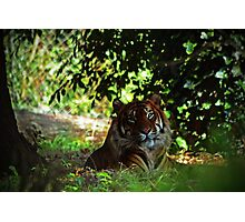 Tiger in shade Photographic Print