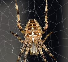 Garden Spider - Araneus Diadematus by Alan1297