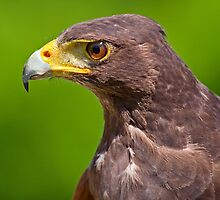 Hawk Profile by Keld Bach