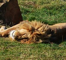 Sleeping lion by bobbykim666