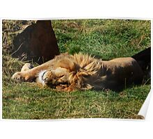 Sleeping lion Poster