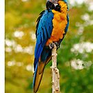 Blue and Yellow Macaw iphone case by Elaine  Manley