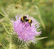 Bee on a thistle by stevehar64