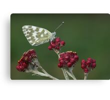 Bath White (Pontia daplidice) Butterfly Canvas Print