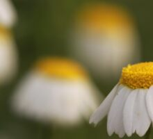 common chamomile (Anthemis cotula) Sticker
