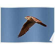 100612 Prairie Falcon Poster