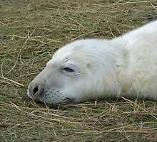 Sleeping seal by davidwatterson