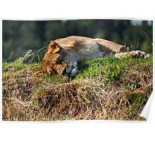 Sleeping lioness Poster