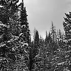 Snowy Pines  by schesnut