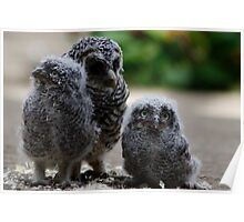 Ugly Beautiful - Three Baby Owls Poster