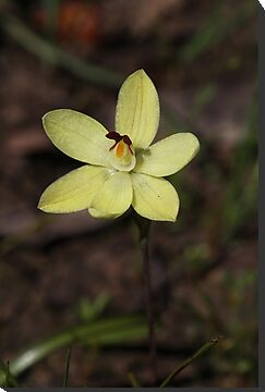 Thelymitra antennifera	 &quot;Rabbit Ears Sun Orchid&quot; by Nathan Mattinson