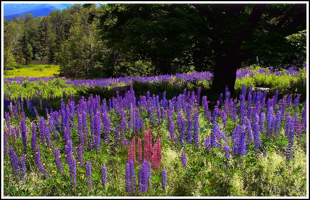 The Guardian of the Lupine Field by Wayne King
