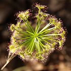 Drosera Circle by kalaryder