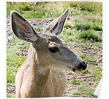 Young Mule Deer [Alces alces)] Poster