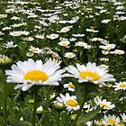 Field of Daisy's  by Derek Andersen Photography