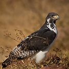 Augur Buzzard (Buteo augur) by Neville Jones