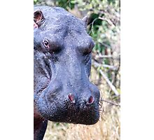 The Hippo Glance Photographic Print
