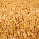 fields of gold by gary roberts