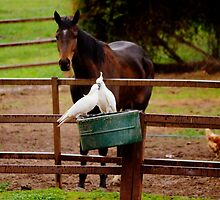 What are you two talking about horse states to cockatoos by Kym Bradley