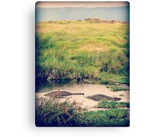 Lurking Lumps ( Hippos Under Water ) Canvas Print