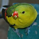 Regent Parrot by peasticks