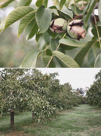 Katunga Walnuts by Kim Jackman