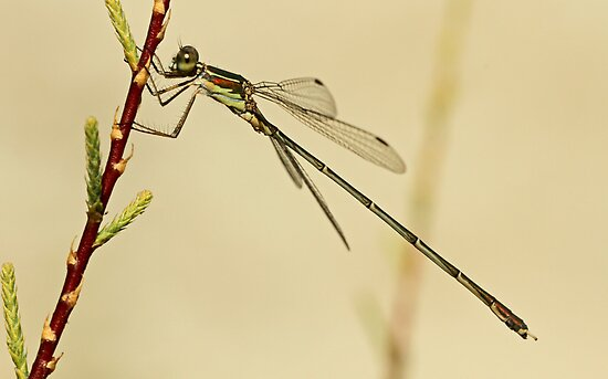 Eastern Willow Damselfly by Robert Abraham