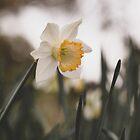 Daffodil by Kim Jackman