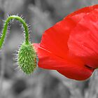 Poppy fower by Thomas Stroehle