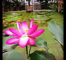 Botanic Garden in Stockholm - Lotus by rhulth